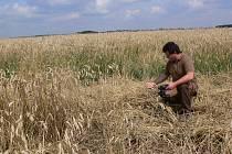 Řádění kanců na polích u Otinovsi