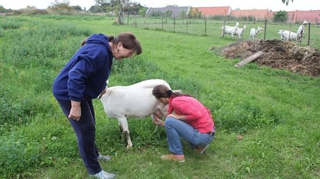 Na kozí farmě v Čelechovicích se nenudí kozy, návštěvníci, už vůbec chovatelé