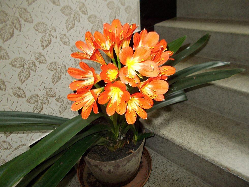Již čtyřicet let každoročně vykvete Oldřichu Lošťákovi krásná Klívie, květina původem z jihu Afriky.