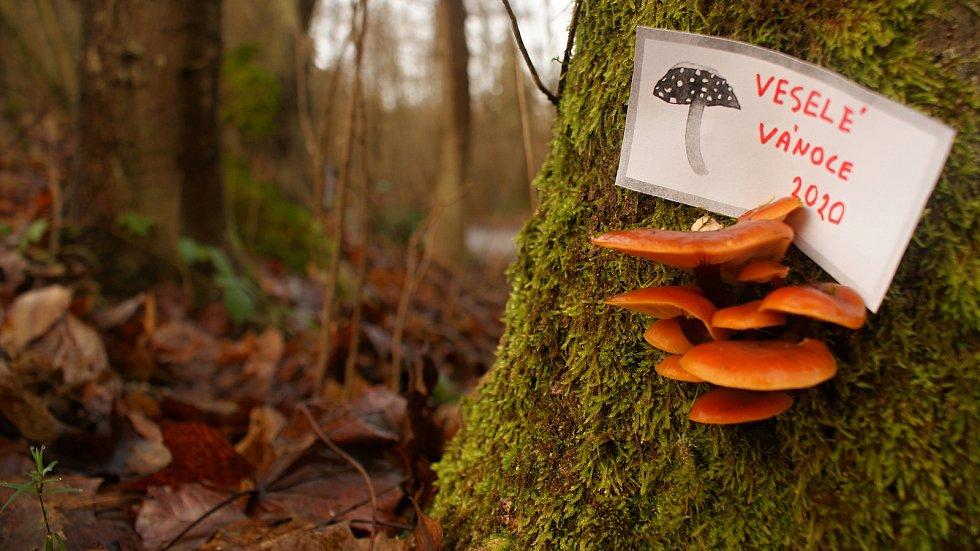Vánoční houbaření u Nývltů - penízovkový pozdrav