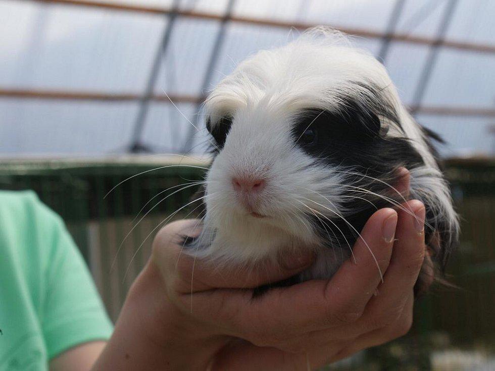 Výstava morčat, činčil a králíků Teddy v areálu prostějovských chovatelů v Plumlovské ulici