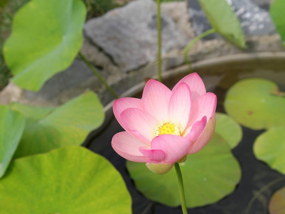 Lotos indický v prostějovské botanické zahradě