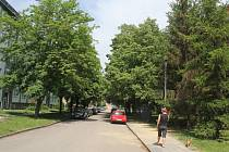 Stromy na Šárce, které by mohly padnout za oběť tvorbě dalších parkovacích míst.