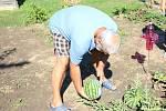 Antonín Jurčík z Kostelce na Hané se úspěšně věnuje pěstování vodních melounů