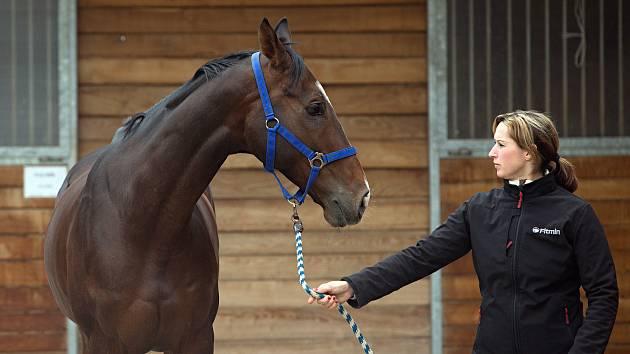 Koně trenéra Stanislava Popelky z Hvozdu u Prostějova se chystají na Velkou pardubickou.Kůň LOMBARGINI.