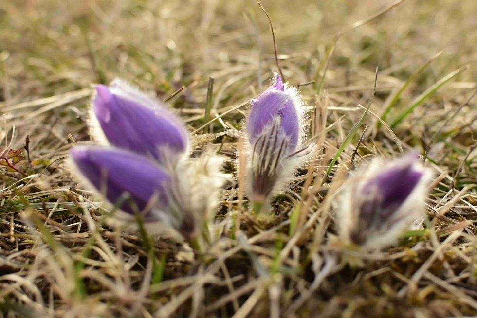 Koniklece ve Slatinkách už kvetou.