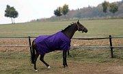 Kůň Nikas ve Hvozdě u Konice