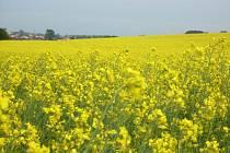 Haná je pokrytá žlutým kobercem kvetoucí řepky