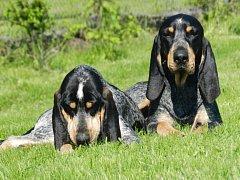 Snímek psů před otravou. Nyní dva modří gaskoňští honiči bojují po otravě jedem o život