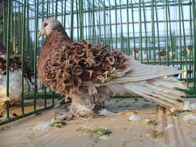 Výstava holubů v Prostějově