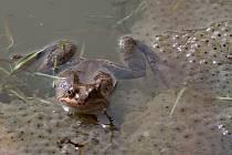 Obyvatel hamerských rybníků - skokan hnědý
