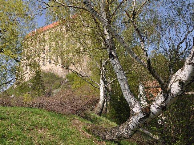 Břízy u Podhradského rybníka v Plumlově