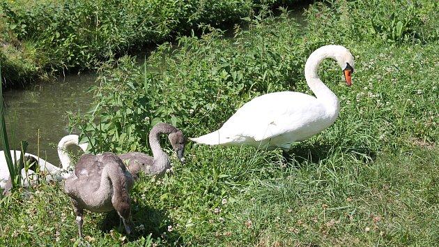 U městského rybníka v Prostějově žije desetičlenná rodinka labutí