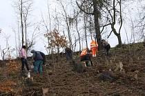 Otinovesští dosazovali koncem roku obecní les mladými stromky. Už dva roky se zde potýkají s kůrovcem.