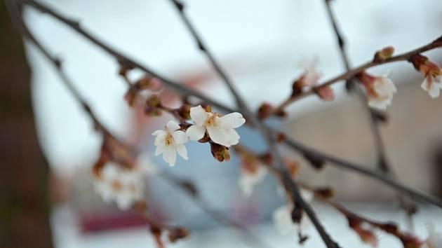 Kvetoucí stromy v Němčicích nad Hanou - 5. ledna 2019