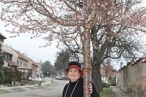 V Držovicích mohou v lednu vítat jaro pod rozkvetlými třešněmi