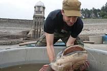 Obří sumec vylovený z vypouštěné plumlovské přehrady (téměř 2 metry, kolem 40 kg)