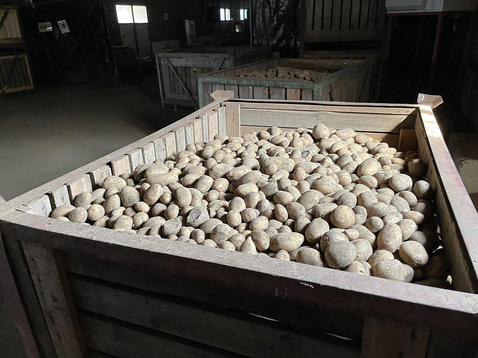 Zemědělské družstvo Vrbátky, krmné brambory, 21. dubna 2021