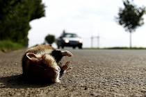 Mrtvolka křečka polního na silnici u Olšan