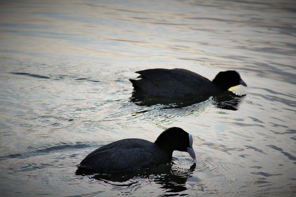 Lysky černé na rybníku Bidelec v Plumlově
