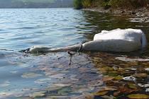 Co bylo příčinou úmrtí této labutě?