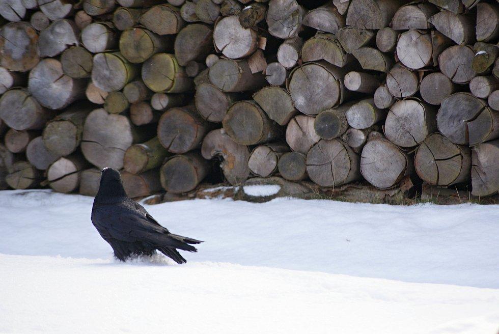 Krkavec velký na zahradě rodinného domu v Žárovicích na Prostějovsku