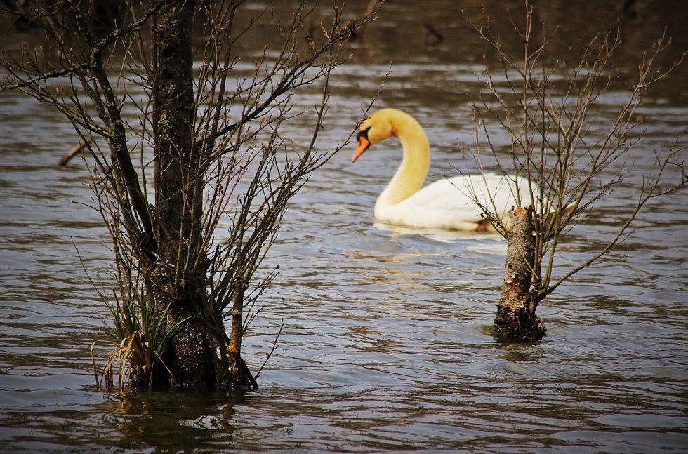 Labutí ladnosti se nic nevyrovná. Hrdibořické rybníky