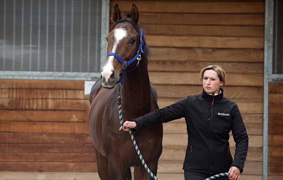 Koně trenéra Stanislava Popelky z Hvozdu u Prostějova se chystají na Velkou pardubickou. Kůň LOMBARGINI.