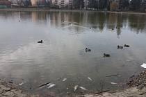 LOVCI FOTEK: Mrtvé ryby v rybníku v Drozdovicích