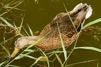 Úhyn devíti kačen na drozdovickém rybníku šetří magistrát. Příčinu určí veterinární pitva