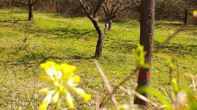 Dolní vinohrádky u Domamyslic jsou ojedinělým ostrůvkem teplomilné květeny v jinak zemědělsky silně zatížené krajině. Největší tamní drahocenností je modře kvetoucí hořec křížatý.
