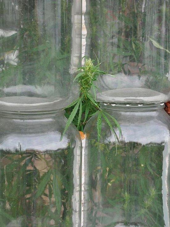 Marihuanu lidé na Prostějovsku pěstují často jako léčivku proti všem neduhům