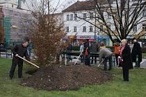 Prostějovské náměstí T.G.M. zdobí nový habr. Při usazení přiložili ruku k dílu i zástupci města a děti