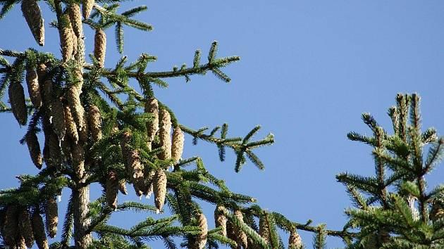 Ve Žďáru si stromy vydělávají samy na sebe. Sběr šišek vynesl skoro 40 tisíc