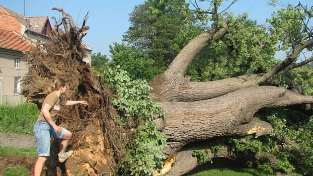 Obrovský strom nepřežil větrnou smršť.