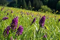 Vzácná orchidej Prstnatec májový