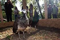Dva nové obyvatele má od čtvrtečního rána zámecký park v Čechách pod Kosířem na Prostějovsku. Paví pár tam zapůjčila olomoucká zoo.