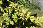 V Botanické zahradě se skrývá spousta zajímavé zeleně. Cypřišek tupolistý. 28.7.2020