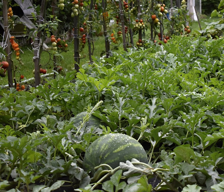 Antonínu Hlavinkovi ze Služína na Prostějovsku rostou vodní melouny i na chodníku před domem. 3.8. 2021