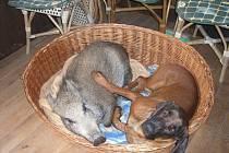 Dříve byla bachyně Tereza se psem kamarádka.