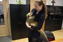 V Prostějově se chovají kromě psů, koček a dalších běžných mazlíčků také ti méně obvyklí. Jedním z nich je například nosál, kterého má doma Michaela Hejlková.