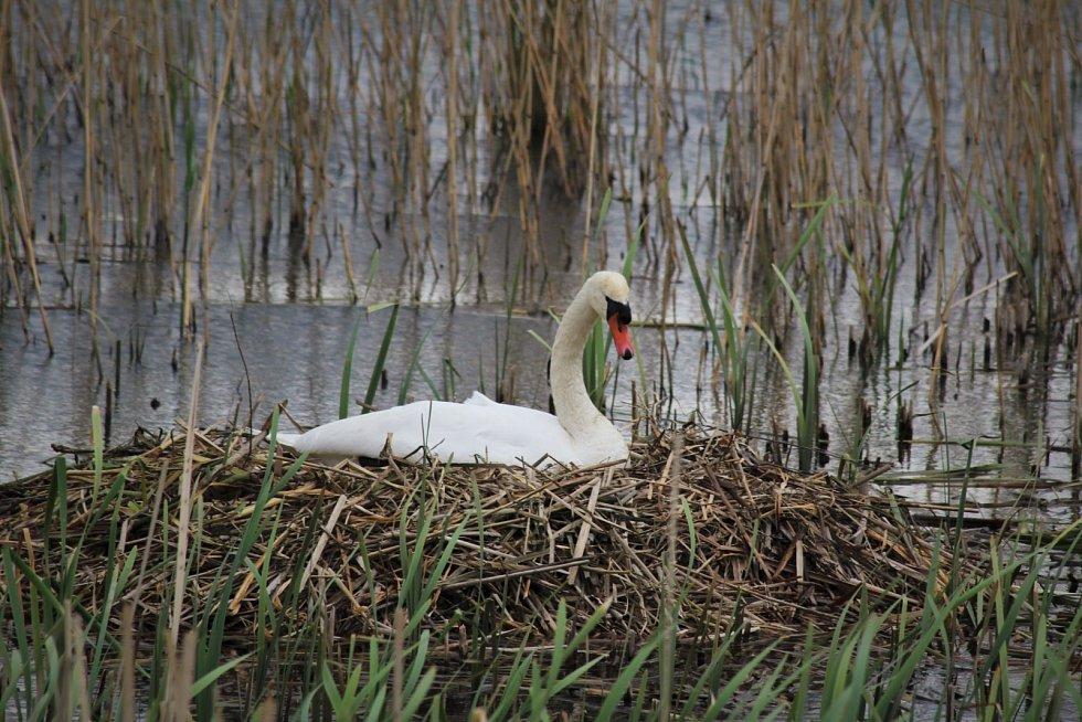 Labutě na Podhradském rybníku