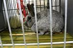 Výstava králíků a holubů v Kostelci na Hané
