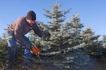 Řezání vánočních stromků na plantáži v Plumlově