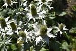 V Botanické zahradě se skrývá spousta zajímavé zeleně. Máčka obrovská. 28.7.2020