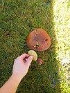 I na chladném Islandu se dají najít pěkné houbařské kousky