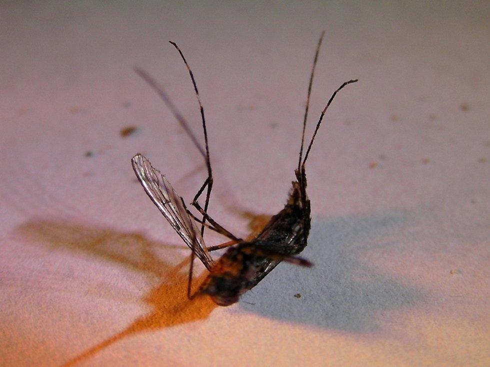 Komár tygří u Seloutek?