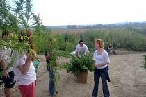 Dušan Dvořák při sběru konopí (cannabis ruderalis) v Mikulově