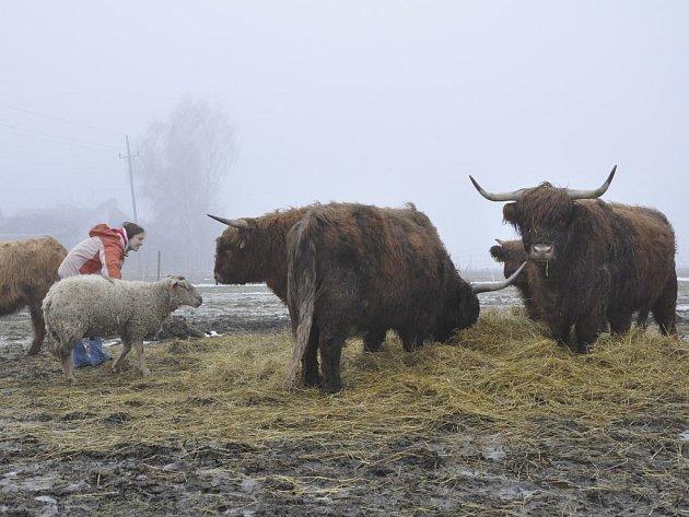 Na ekologické farmě ve Hvozdě se chovají kozy, ovce a skotský náhorní skot.