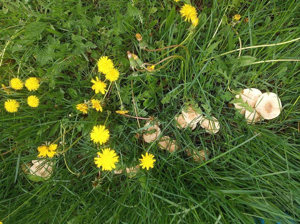 Čirůvka májovka roste v trávě